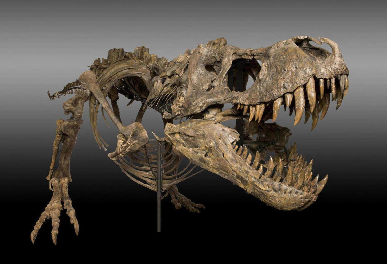 Tyrannosaurus Rex Skelett
